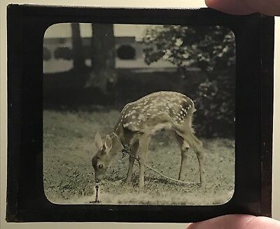Antique Young Pet Deer Fawn On A Leash Animal Magic Lantern Glass Slide