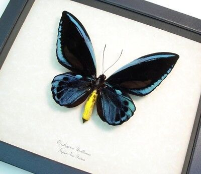 Real Framed Rare Blue Birdwing Ornithoptera Urvillianus Male Butterfly 1116A