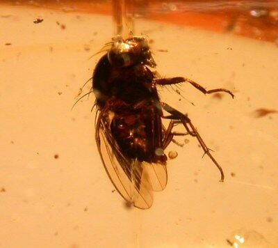 Beautiful Large Fly, Mass with Webbing in Colombian Copal Amber Fossil 25 gram