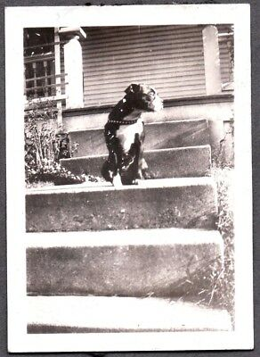Vintage Photograph 1920-40's Boston Terrier Dog Puppy Leather Harness Old Photo