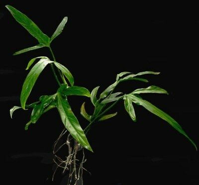 Philodendron holtonianum / Exotic Houseplant