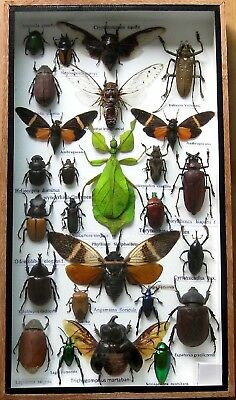 26 Real Beetle Boxed Rare Insect Display PHYLLIUM Taxidermy Entomology Zoology