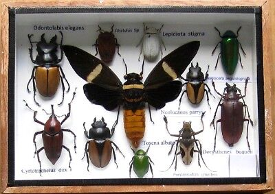 11 Real Insect Rare Insects Display Beetle Taxidermy in Wood Box Collectible