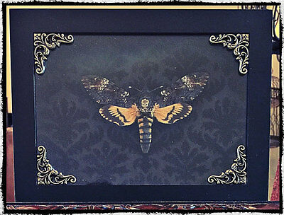 Preserved Death Head Moth in Shadowbox Frame, Oddities, Gothic, oddity