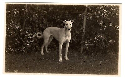 Greyhound Posing Vintage Black and White Small Misprinted Postcard