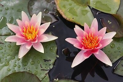 Comanche Dwarf small pond  water lily - pond plants water lilies