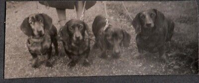 Vintage Photograph 1930's Dachshund Wiener Dogs Puppies London England Old Photo