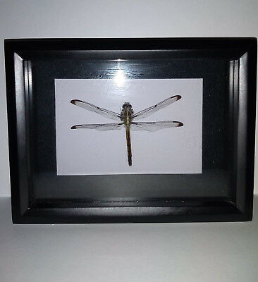 Real Dragonfly ~ Percher Female Dragonlet ~ Shadow Box Display Frame