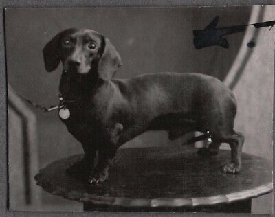 Vintage Photograph 1930S Dachshund Wiener Dog Puppy Pup London England Old Photo