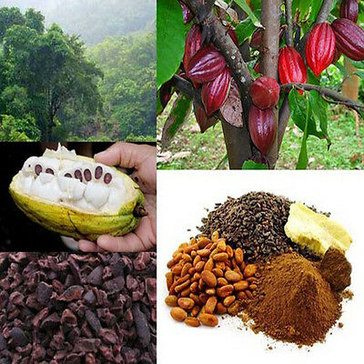 Chocolate Cacao Tree Seeds Cocoa Fruit Seed Theobroma Home Garden Plant UK