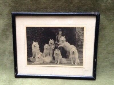 Antique Framed Picture Lady Samoyed 8 Dogs Show Dog White Keyte Perry Oak Hall