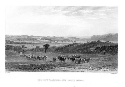 1870 - New South Wales Cows Australia Australien steel engraving Stahlstich