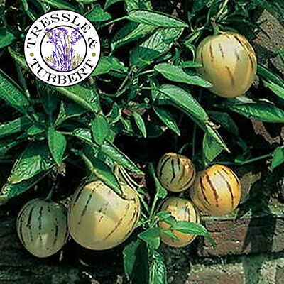 Rare Pepino Melon Pear Pepino Dulce 8 seeds  UK SELLER.