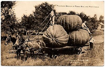 real photo exaggeration Pumpkins Grown In Texas Soil Are Profitable antique RPPC