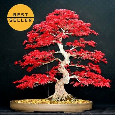 Japanese red maple seeds bonsai tree Acer palmatum atropurpureum Japanese bonsai