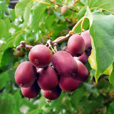 40 Ken's Red Kiwi seeds Actinidia arguta hardy to -25 USA SELLER