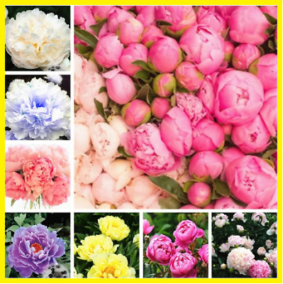17 Varieties 20pcs China Peony Seeds Paeonia Suffruticosa Flower Tree Plant NEW