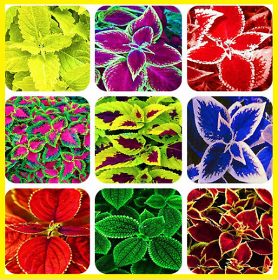 100Pcs Rainbow Coleus Bonsai Flower Seeds Home Garden Plants Multi-Color Mix NEW