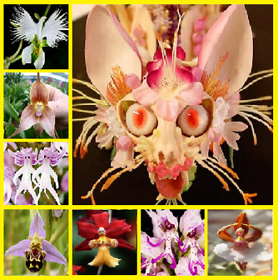 200Pcs Japanese Orchid Flower Seeds Home Garden Plants Multi-Color Mix NEW Rare