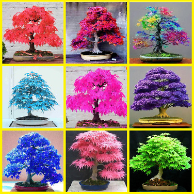 30pcs Japanese Blue Red Pink Mix Maple Tree Seeds Bonsai Plant Balcony Garden !!