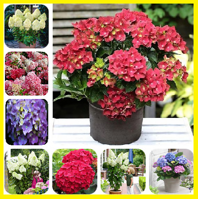 100Pcs Colorful Hydrangea Flower Seeds Home Garden Multi-Color Mix NEW Plant
