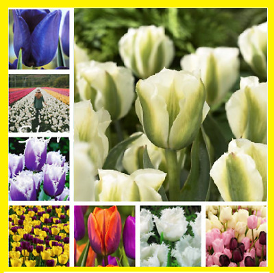 100Pcs Colorful Tulip Flower Seeds Bonsai Home Garden Multi-Color Mix NEW True !