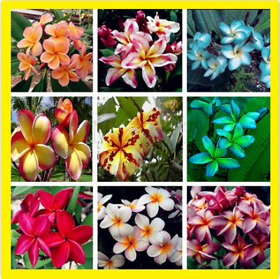100Pcs Colorful Plumeria Flower Seeds Bonsai Home Garden Multi-Color Mix NEW !!