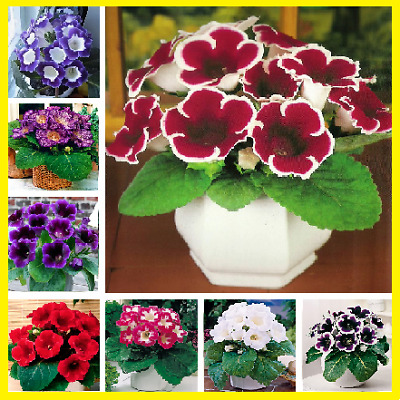 100Pcs Gloxinia Perennial Flower Seeds Home Garden Plants Multi-Color Mix NEW !!