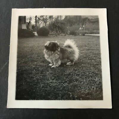 Antique vintage Old Retro photograph Photography 40s Dog pekingese