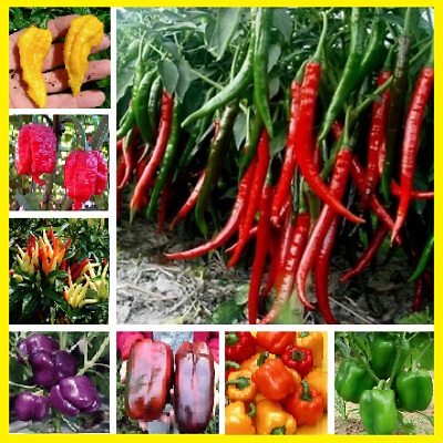100pcs Giant Red Chilli Hot Pepper Seeds Organic True Tasty Rare And Delicious !