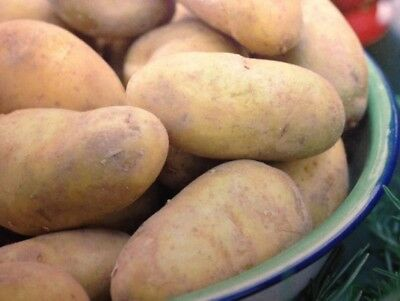 CHARLOTTE Second Early Seed Potatoes -  Popular Salad Variety
