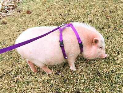 baSIX© Premium Micro Pig Harnesses & Leashes - by piGGlz.com