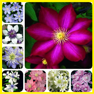 100Pcs Clematis Perennial Flower Seeds Home Garden Plants Multi-Color Mix NEW !!