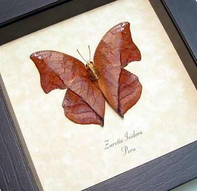Real Framed Zaretis Isidora Verso Leaf Mimic Butterfly 462