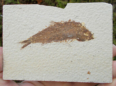 Fossil Fish Knightia Eocene Green River formation Wyoming fossils Ref D.KN1