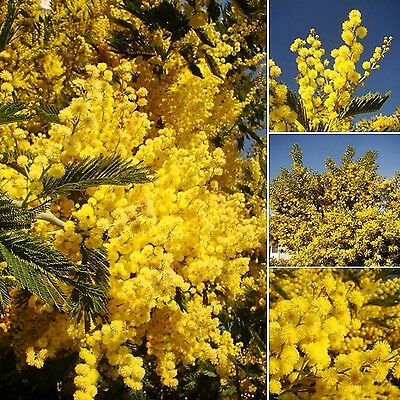 Silver Wattle Yellow Mimosa Acacia Dealbata Flowering Tree