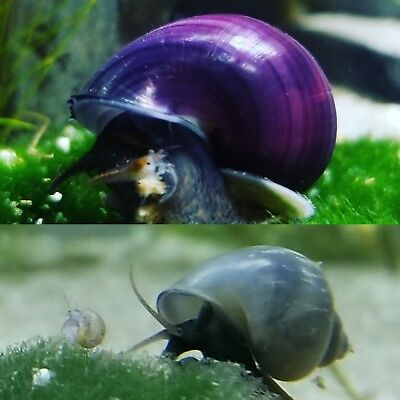2 Live Mystery Snails Package! 1 Purple, 1 Blue Aquarium Snail & Food Sample!