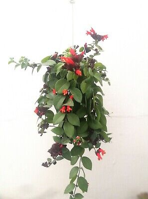 AESCHYNANTHUS RADICANS Cutting Esqueje Hanging Live LIPSTICK PLANT Red flowers