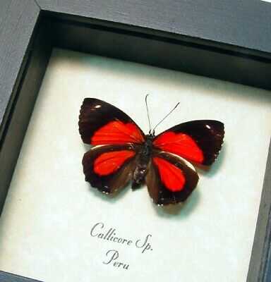 Real Framed Callicore Species Bright Red Markings Butterfly 296