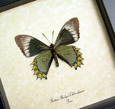 Real Framed Battus M. Chlorodamas Maydes Green Swallowtail Butterfly 8051