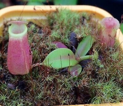 Nepenthes Reinwardtiana Red Form Rare Easy Exotic Carnivorous Pitcher Plant