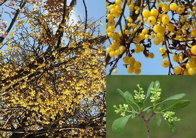 Yellow mistletoe, Loranthus europaeus - 30 fresh seeds and instruction for grow
