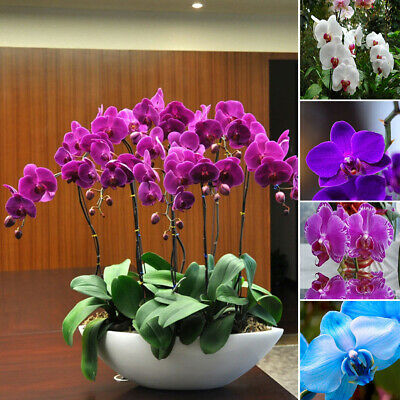 20Pc Phalaenopsis Butterfly Orchid Seeds Home Garden Yard Bonsai Decoration Call