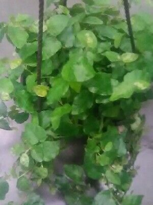 Tropical Plants Large Beautiful Creeping Fig In An 8 Inch Pot