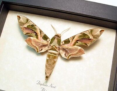 REAL FRAMED RARE Daphnis Nerii Oleander Moth or Army Green Hawk Moth 7942