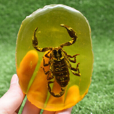 Beautiful Collectible Rare Amber Inner Inlay Scorpion True Insect Specimens 139G
