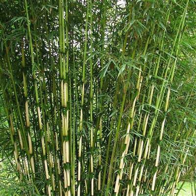 50 Fargesia robusta campbell seeds Clumping bamboo USA SELLER