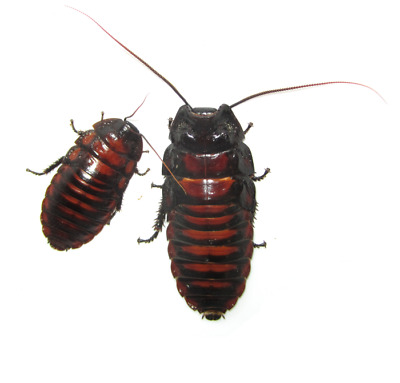 Flat Horn Hisser (Aeluropoda insignis) - Adults, Colonies - Ships Same Day Free