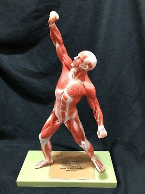 Somso AS3 Male Muscle Figure Muscular Anatomical Model