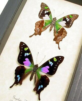 Real Framed Graphium Weiskei Purple Spotted Swallowtail Pair 229p
